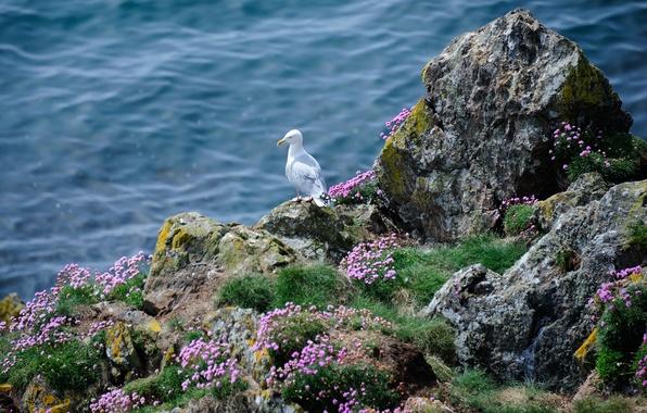 Картинка море, трава, цветы, скалы, птица, чайка, Seagull