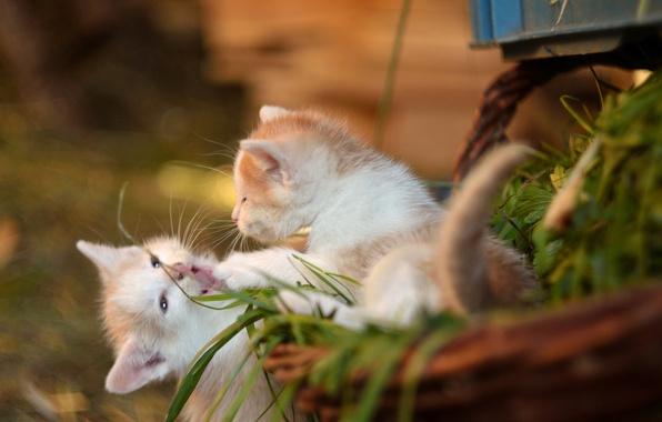 Картинка корзина, игра, котята, малыши, парочка, боке, забава