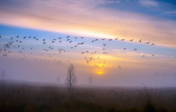 Картинка осень, небо, закат, птицы, туман, роса, дерево, утки, стая, вечер, после дождя, вороны, гуси, Ноябрь
