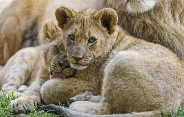 Картинка язык, трава, взгляд, кошки, пара, львята, умывание, детёныши, ©Tambako The Jaguar