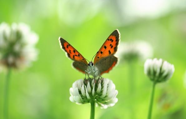 Картинка белый, цветок, лето, макро, цветы, природа, бабочка, размытость, клевер, насекомое