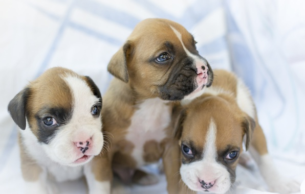 Картинка собаки, щенки, малыши, трио, боксёр, троица