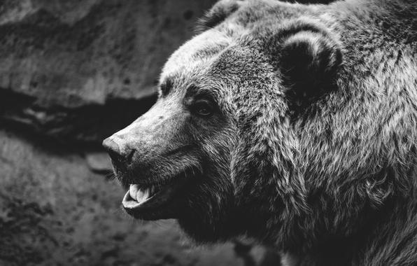 Картинка взгляд, морда, фон, шерсть, медведь, пасть