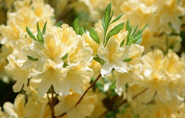 Картинка листья, цветы, желтый, природа, цветущее дерево