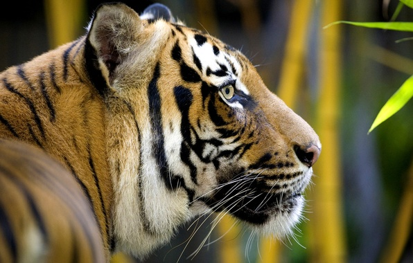 Картинка кошка, усы, морда, листья, полоски, тигр, животное, хищник, голова, шерсть, бамбук, джунгли, профиль, мех, окрас, …