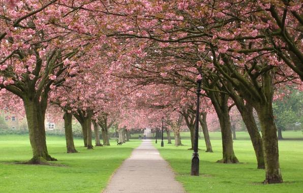 Картинка деревья, цветы, ветки, природа, вишня, парк, дерево, весна, сакура, аллея