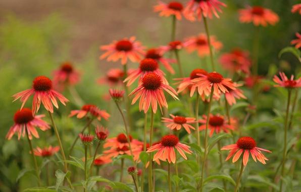 Картинка цветы, природа nature photos, daisies