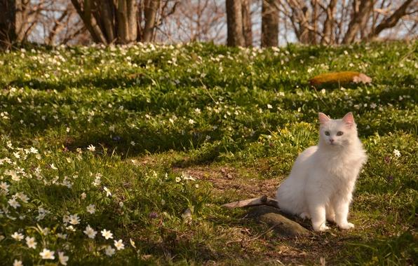 Картинка кошка, кот, цветы, природа, весна, ветреница