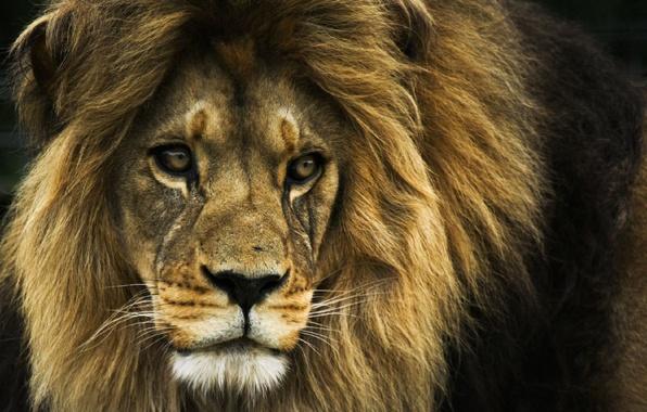 Картинка лев, царь зверей, Lion