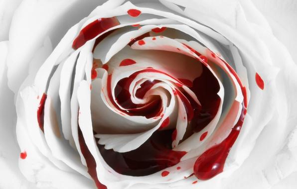 Картинки кровь и роза
