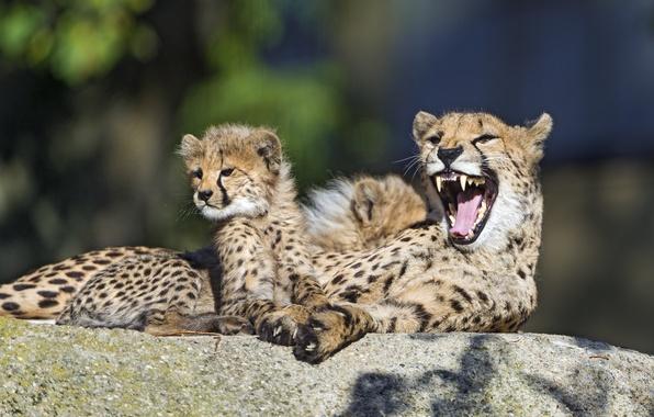 Картинка кошка, семья, пасть, гепард, детёныш, котёнок, зевает, ©Tambako The Jaguar
