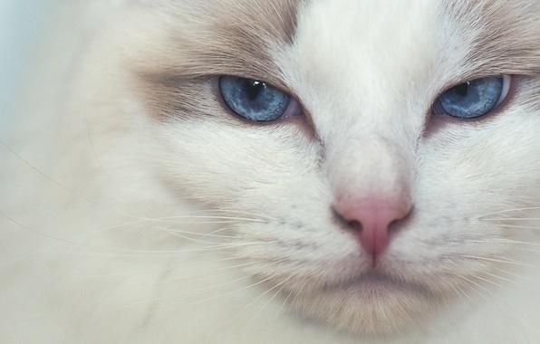 Картинка кошка, взгляд, мордочка, голубые глаза, Рэгдолл