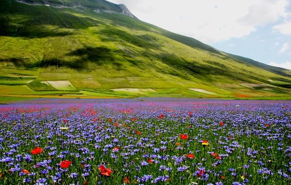 Картинка цветы, природа, маки, холм, луг, васильки