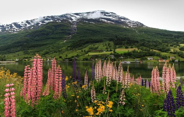 Картинка цветы, горы, берег, Норвегия, залив, фьорд, люпин, Nordfjord Olden
