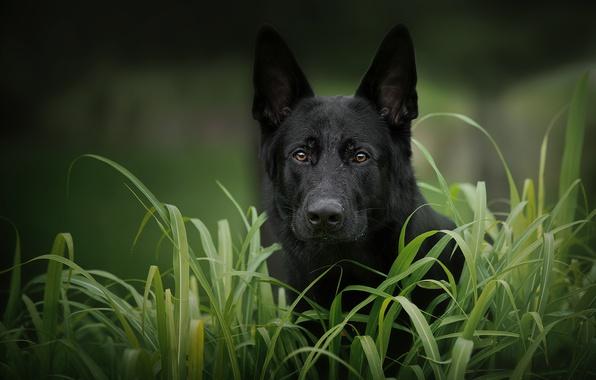 Картинка трава, взгляд, морда, собака, Немецкая овчарка