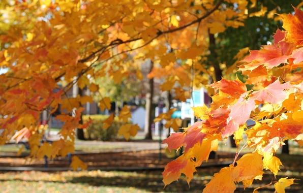 Картинка осень, листья, парк, клен
