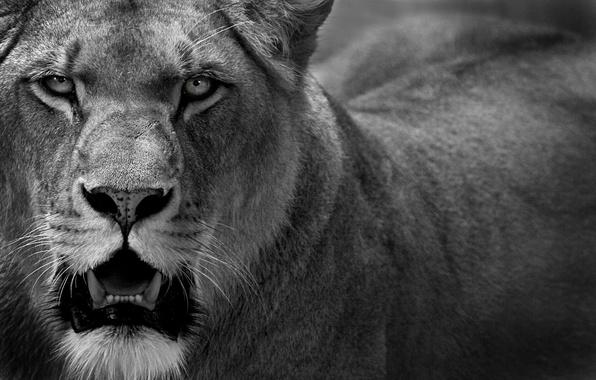 Картинка кошка, хищник, лев, львица, cat, lion, 1920x1200, predator, lioness