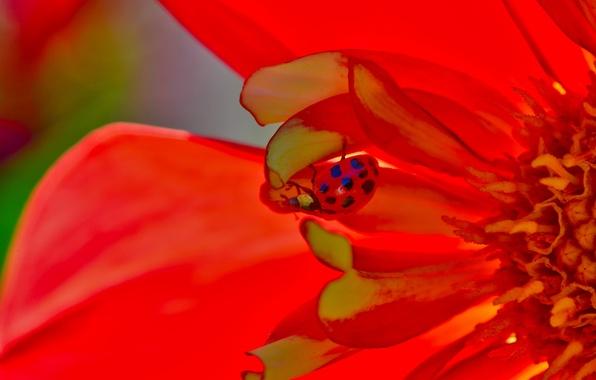Картинка цветок, растение, божья коровка, лепестки, насекомое