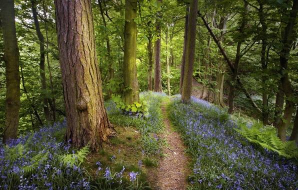 Картинка деревья, цветы, природа, стволы, тропа, весна, Лес, папоротник, тропинка