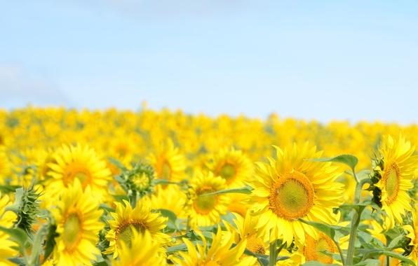 Картинка небо, подсолнухи, пейзаж, цветы, желтый, природа, фон, widescreen, обои, голубое, растение, подсолнух, wallpaper, цветочки, flower, …