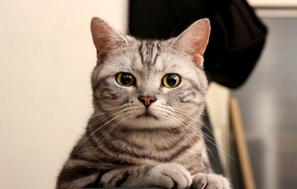 Картинка кошка, глаза, кот, взгляд, серый, зеленые, полосатый, смотрит