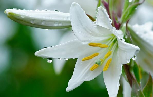 Картинка цветок, лилия, белая, капельки росы.