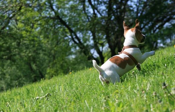 Картинка трава, настроение, собака, прогулка, бежит, джек рассел терьер, радуется