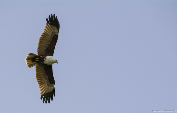 Картинка небо, свобода, птица, высота, крылья, хищник, полёт, коршун