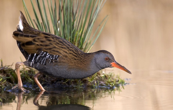 Картинка трава, вода, озеро, пруд, отражение, птица