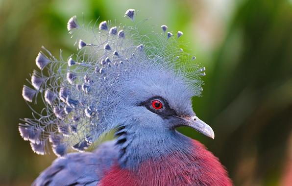 Картинка птица, перья, венценосный голубь, Victoria Crowned Pigeon