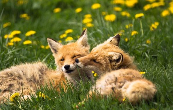 Картинка животные, лето, трава, природа, лисы, одуванчики