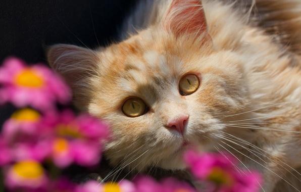 Картинка кошка, взгляд, цветы, мордочка, боке, рыжий кот