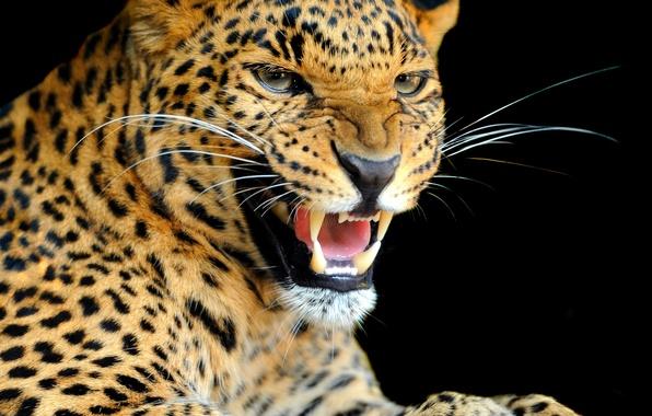 Картинка взгляд, фон, хищник, леопард, окрас, дикая кошка, рычание