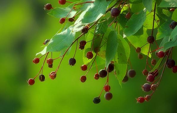 Картинка листья, ягоды, фон, ветка, плоды