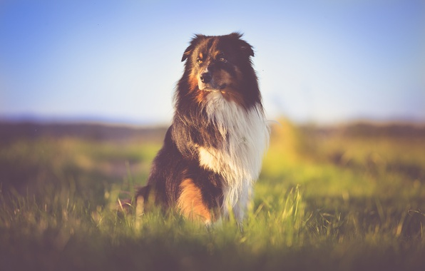Картинка grass, field, dog, bokeh, australian shepherd