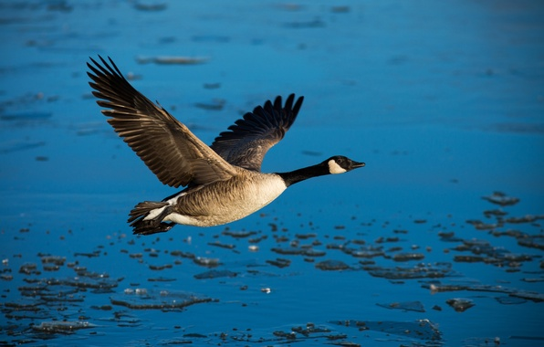 Картинка свобода, вода, птица, крылья, полёт, утка