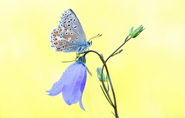Картинка цветок, голубой, бабочка, колокольчик, желтый фон