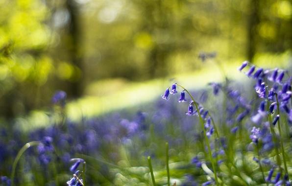 Картинка лес, макро, цветы, блики, поляна, размытость, Колокольчики, синие, сиреневые, боке