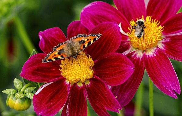 Картинка макро, цветы, насекомые, бабочка, шмель, георгины, крапивница