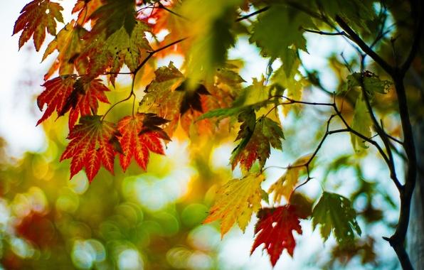 Картинка осень, листья, макро, деревья, ветки, красный, зеленый, фон, дерево, widescreen, обои, размытие, wallpaper, листочки, широкоформатные, …