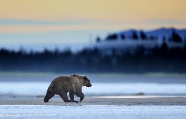 Картинка Alaska, Predator, Sunrise, Wild, Lake, Bear, Clark, Mammal, Grizzly, Mmorning, Wildlife