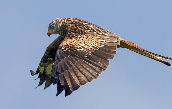 Картинка полет, крылья, хищник, Птица, bird, взмах, flight, predator, hunter, красный коршун, red kite, Milvus milvus