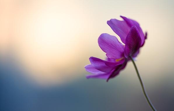 Картинка цветок, фиолетовый, нежный, лепестки, стебель, flower, blue, боке, petals, violet, tender, boke