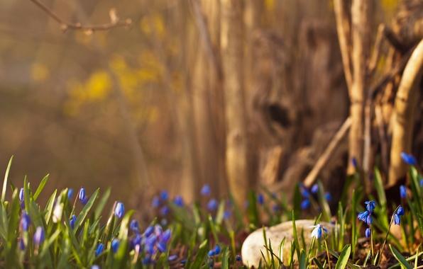 Картинка лес, весна, подснежники, синие