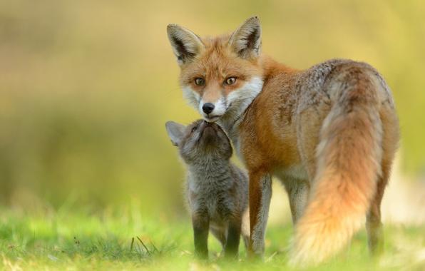Картинка малыш, лиса, мама, лисица, лисенок