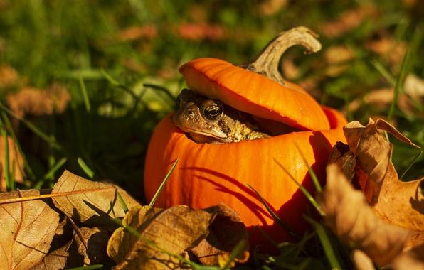 Картинка трава, глаза, листья, тыква, жаба, боке