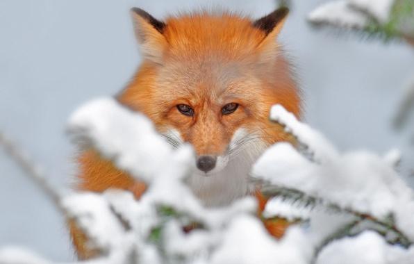 Картинка снег, ветки, природа, красота, лиса