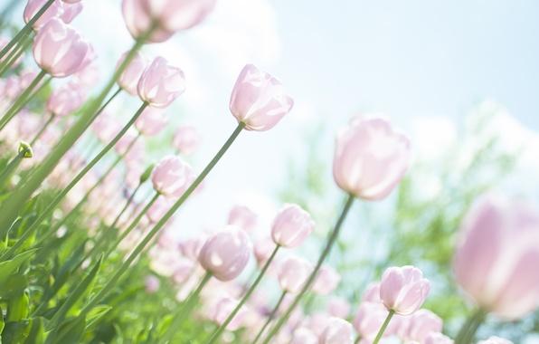 Картинка небо, листья, солнце, свет, цветы, природа, стебли, поляна, нежность, растения, весна, тюльпаны, розовые, белые