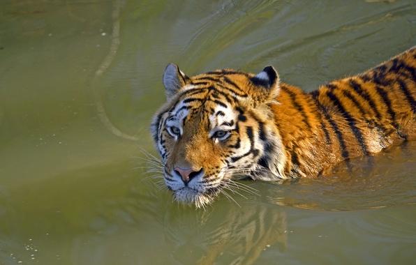 Тигр амурский кошка вода купание