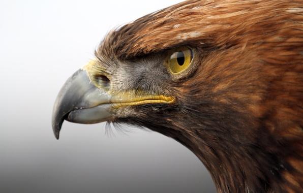 Картинка взгляд, птица, хищник, голова, клюв, Золотой орел, Golden Eagle
